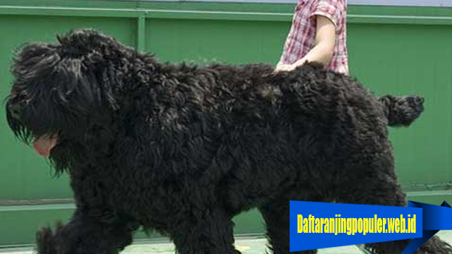 Fakta Anjing Black Russian Terrier