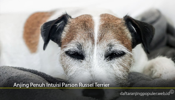 Anjing Penuh Intuisi Parson Russel Terrier