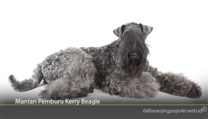 Mantan Pemburu Kerry Beagle
