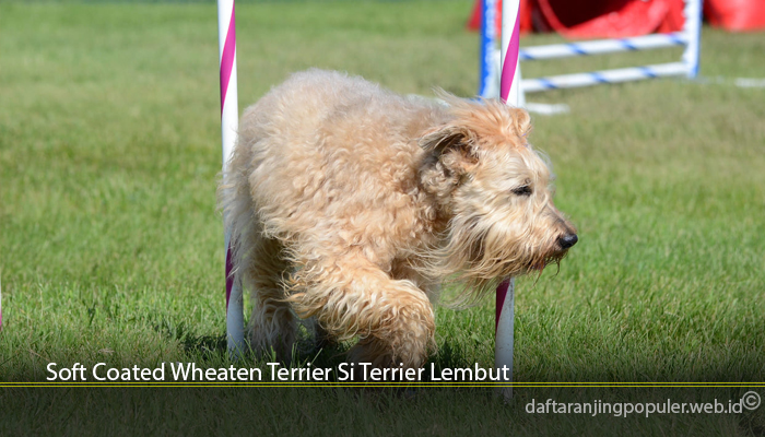 Soft Coated Wheaten Terrier Si Terrier Lembut